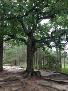 Beautiful tree Stone Mountain