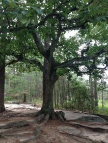 Beautiful tree Stone Mountain