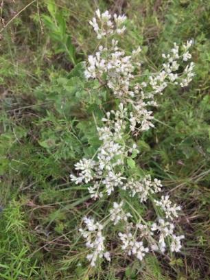 white throated flower